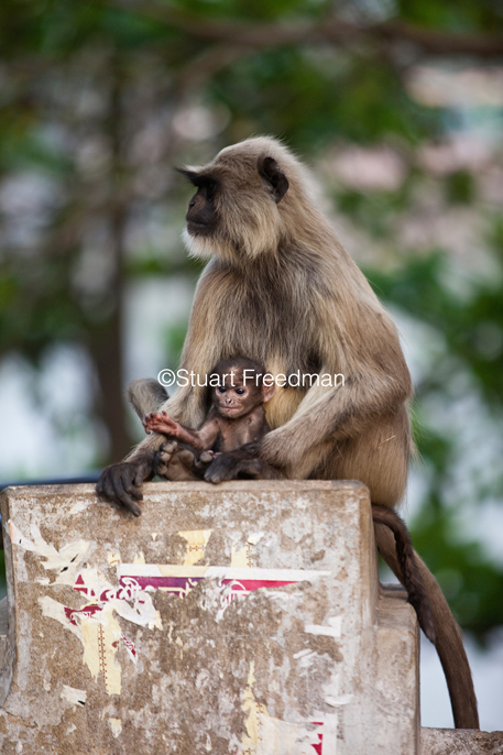 India - Chandanagore - A Langur mother and child on a wall by the river Hooghly
