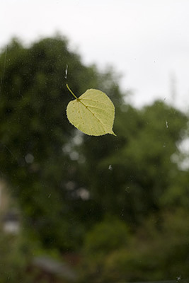 A leaf on a window pane blown there in a storm