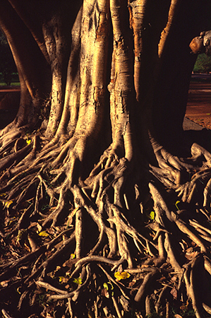 India - New Delhi - The roots of a tree in the grounds of Humayan's Tomb in New Delhi, India. The tomb itself built in 1570, is of particular cultural significance as it was the first garden tomb on the Indian subcontinent. It inspired several major architectural innovations, culminating in the construction of the Taj Mahal.